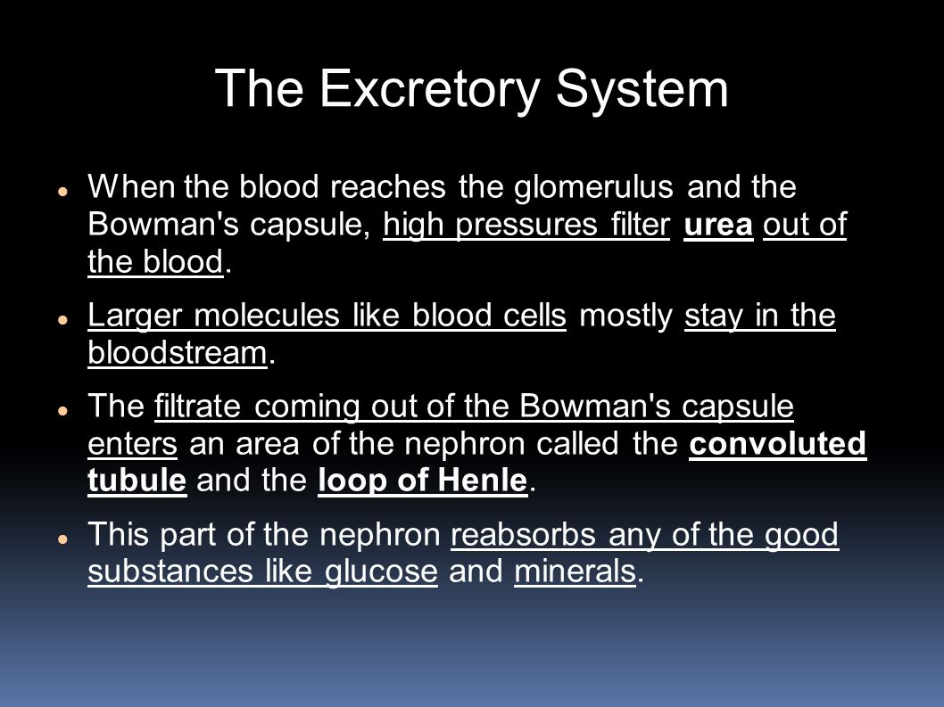 The Excretory System When the blood reaches the glomerulus and the Bowman s capsule, high pressures filter urea out of the blood.