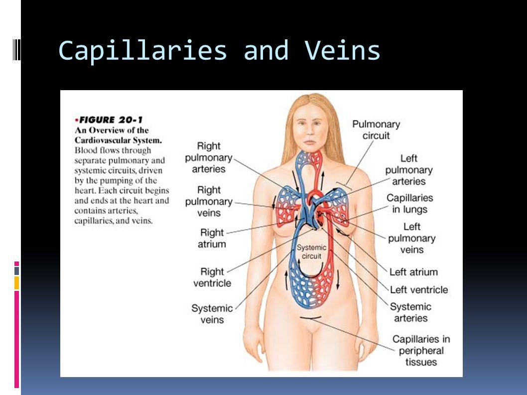 Capillaries and Veins