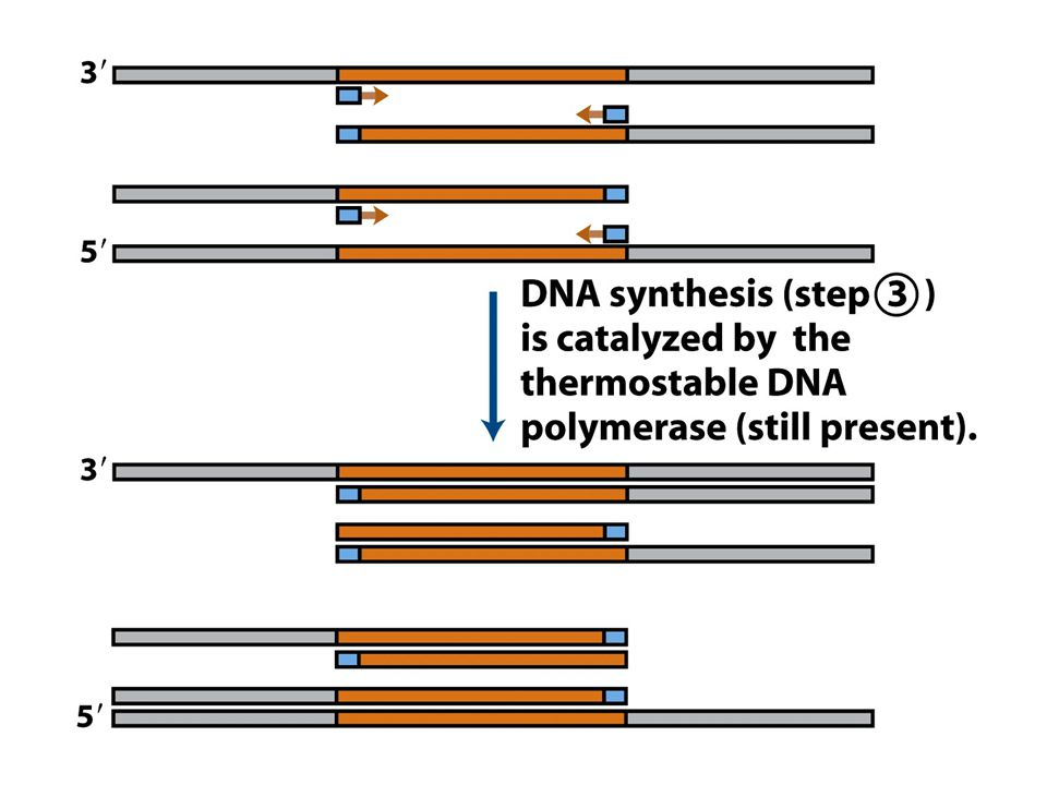 (part 2) Amplification of a DNA segment by the polymerase chain reaction.