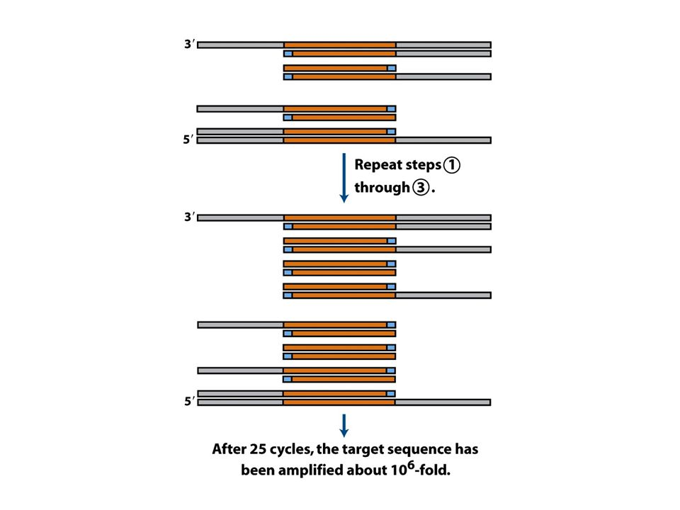 (part 3) Amplification of a DNA segment by the polymerase chain reaction.