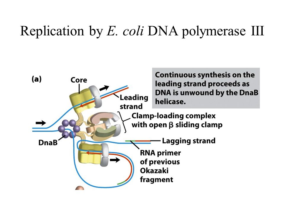 Replication by E. coli DNA polymerase III