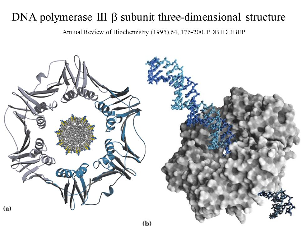 DNA polymerase III  subunit three-dimensional structure