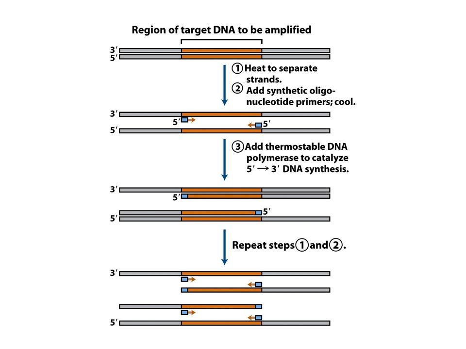 (part 1) Amplification of a DNA segment by the polymerase chain reaction.