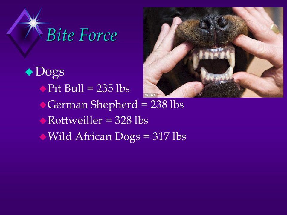 Bite Force Dogs Pit Bull = 235 lbs German Shepherd = 238 lbs