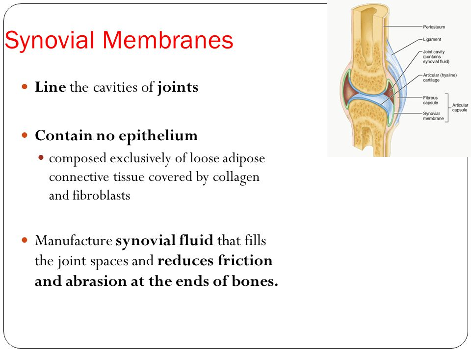 Synovial Membranes Line the cavities of joints Contain no epithelium