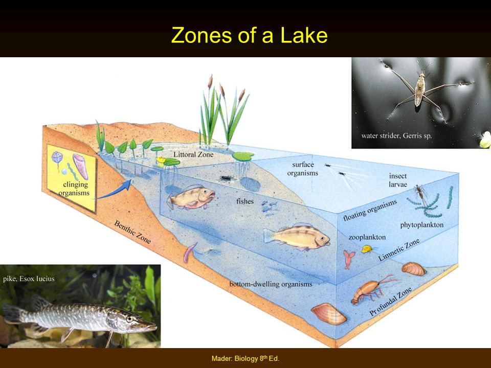 Zones of a Lake Mader: Biology 8th Ed.