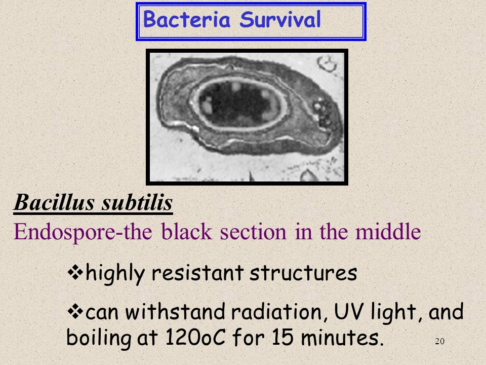 Endospore-the black section in the middle
