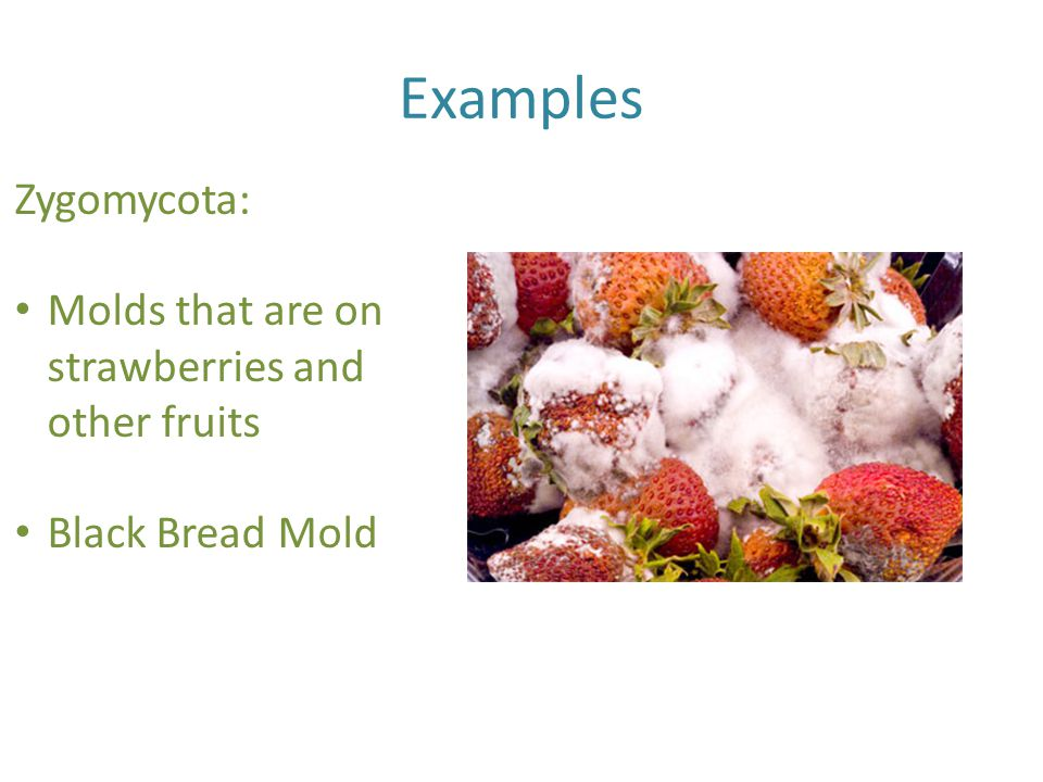 Examples Zygomycota: Molds that are on strawberries and other fruits
