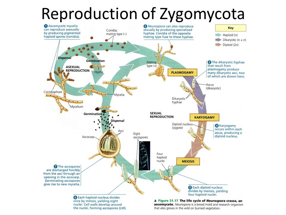 Reproduction of Zygomycota
