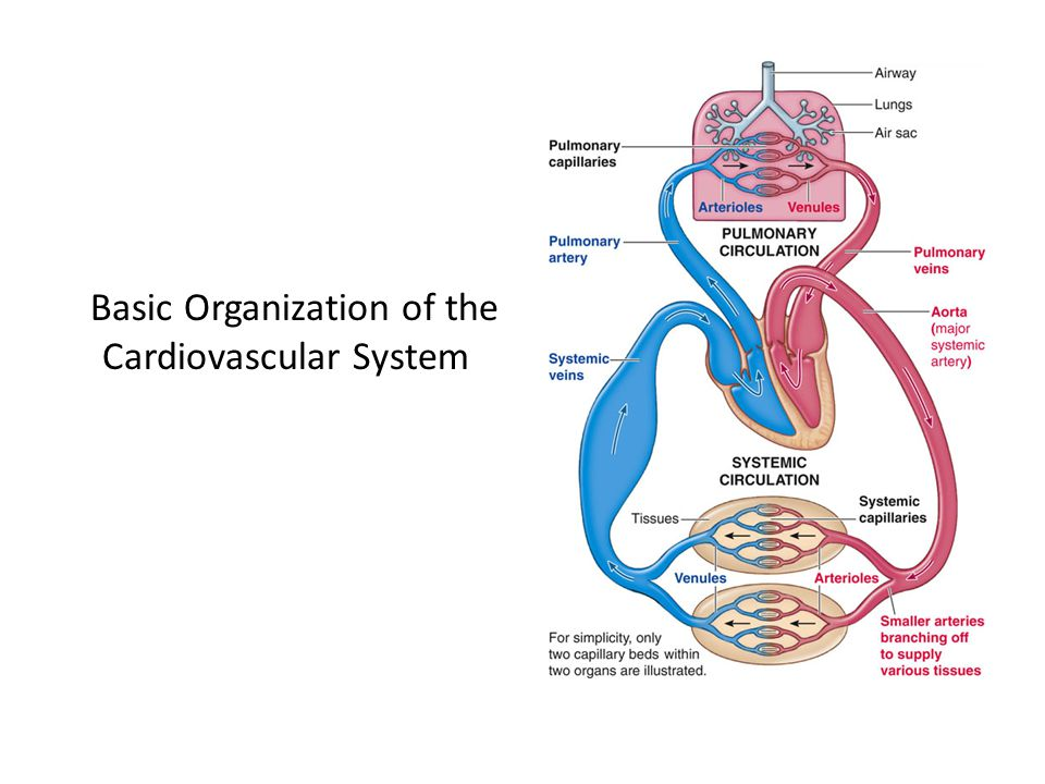 Basic Organization of the Cardiovascular System