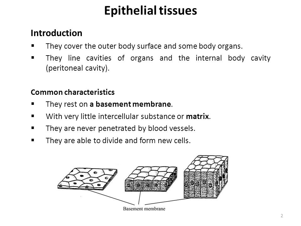 Epithelial tissues Introduction