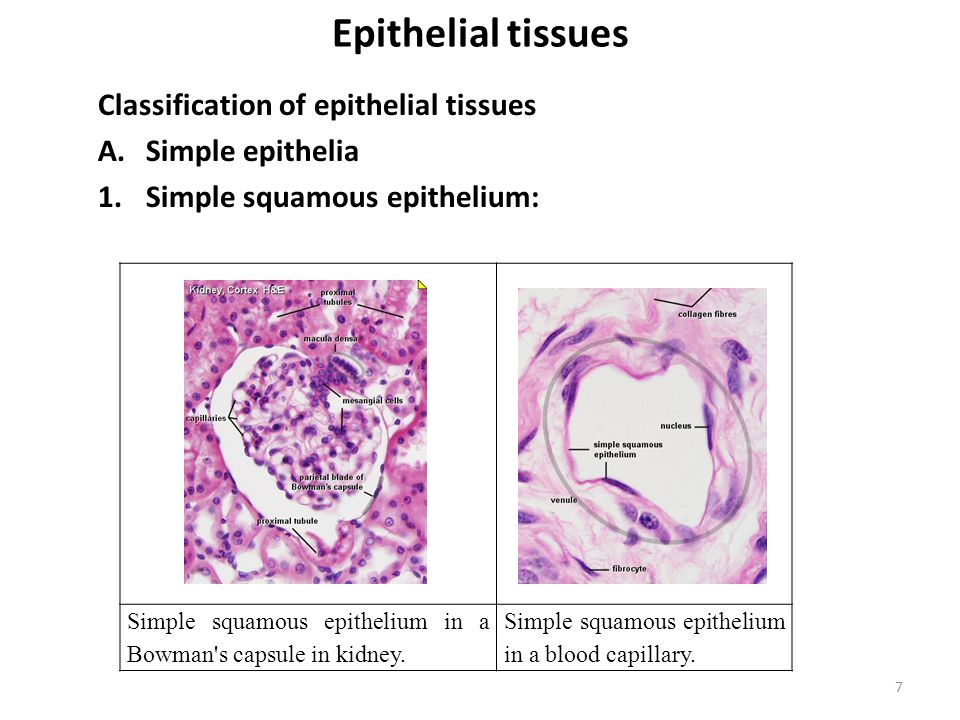 Epithelial tissues Classification of epithelial tissues