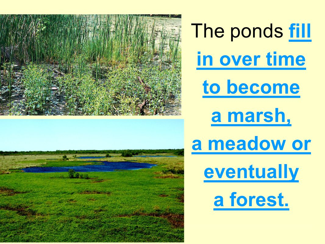 The ponds fill in over time to become a marsh, a meadow or eventually a forest.