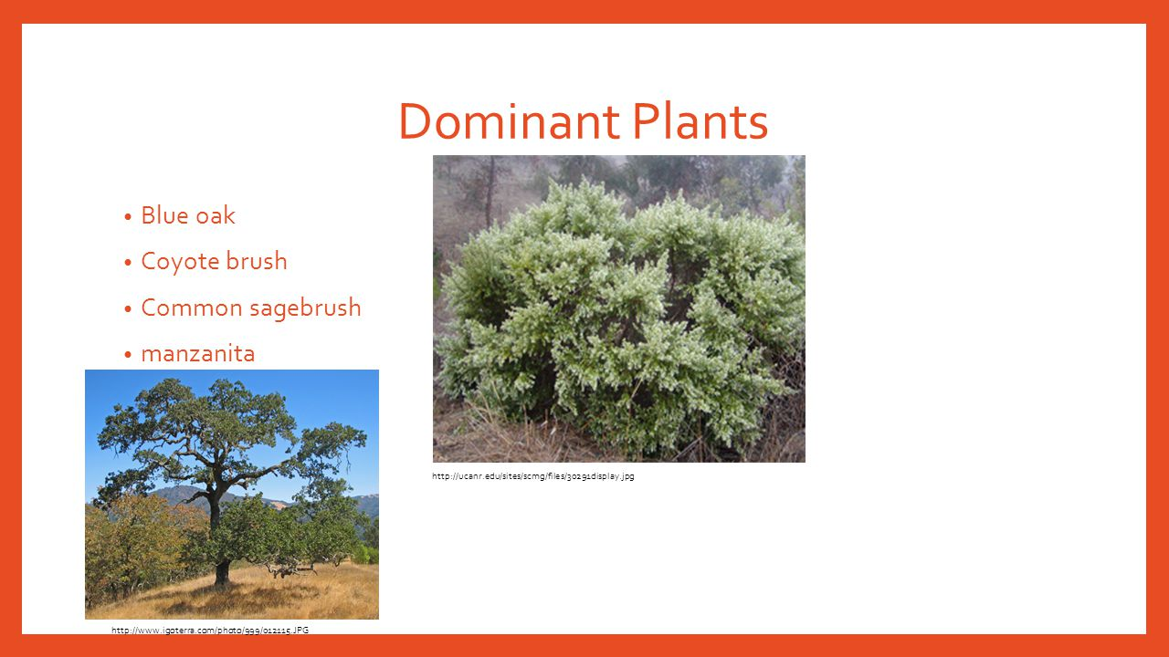 Dominant Plants Blue oak Coyote brush Common sagebrush manzanita