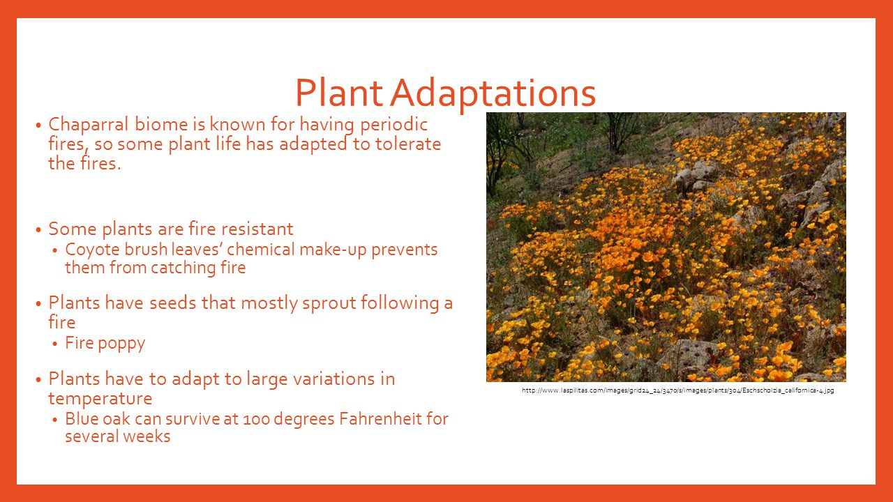 Plant Adaptations Chaparral biome is known for having periodic fires, so some plant life has adapted to tolerate the fires.
