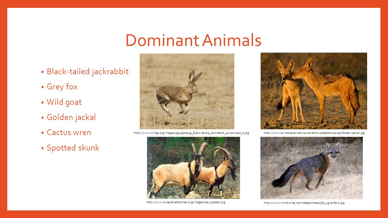 Dominant Animals Black-tailed jackrabbit Grey fox Wild goat