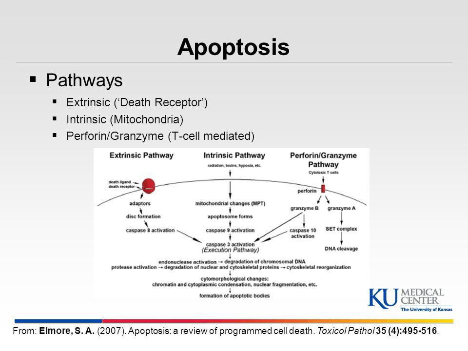 Apoptosis Pathways Extrinsic ('Death Receptor')