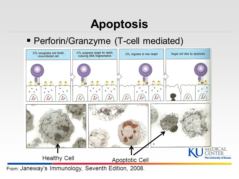 Apoptosis Perforin/Granzyme (T-cell mediated) Healthy Cell