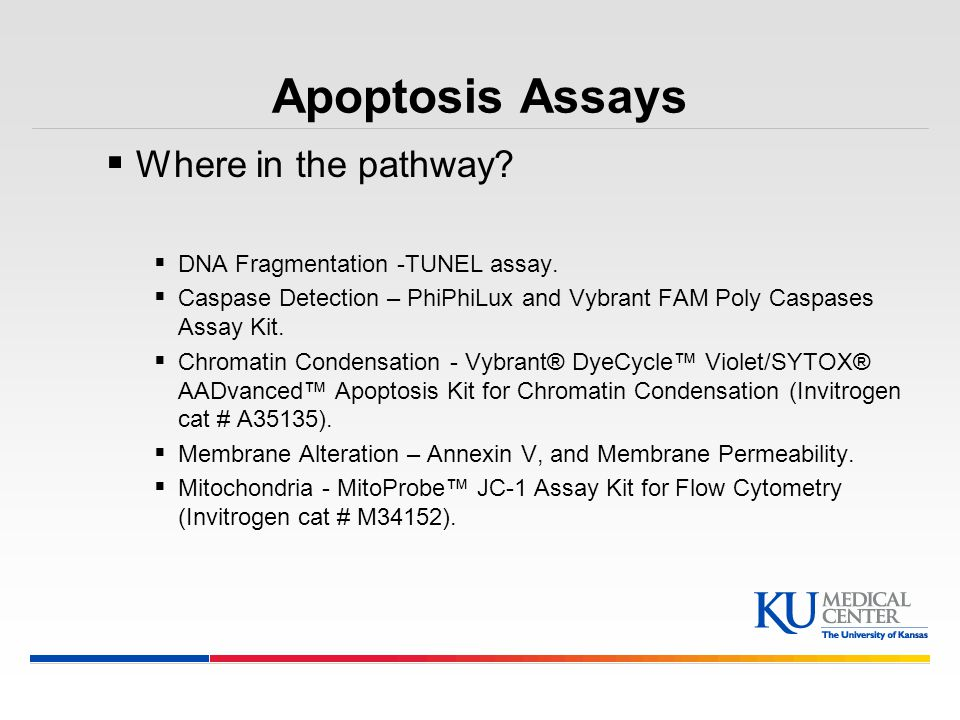 Apoptosis Assays Where in the pathway DNA Fragmentation -TUNEL assay.