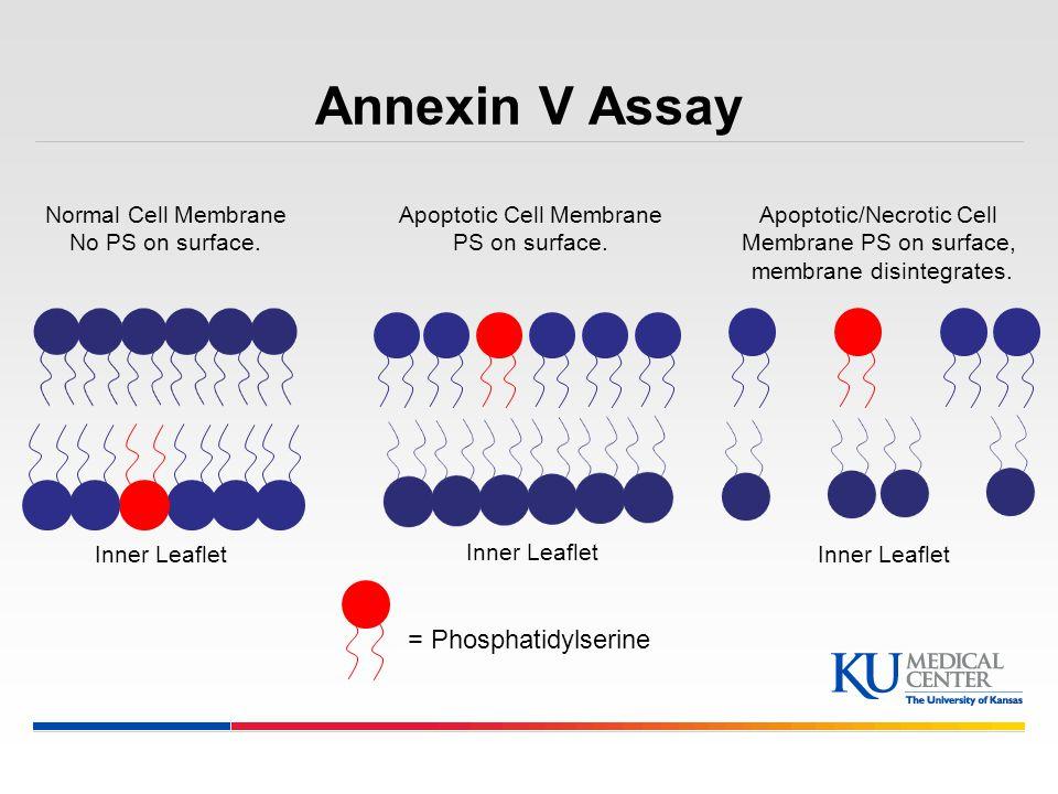 Annexin V Assay = Phosphatidylserine Normal Cell Membrane