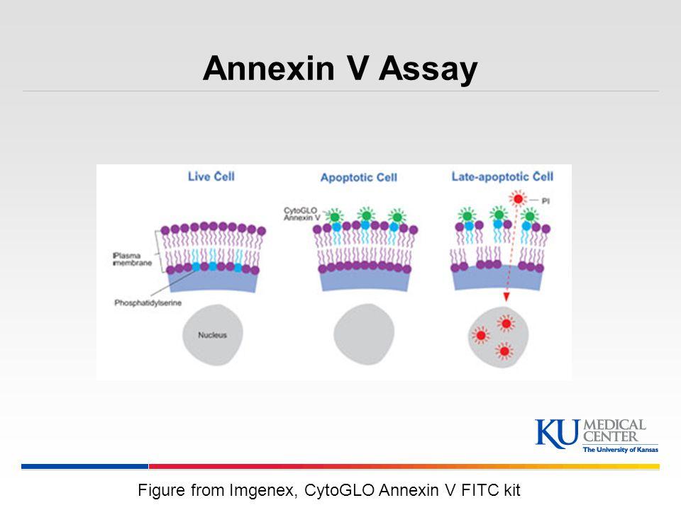 Annexin V Assay Figure from Imgenex, CytoGLO Annexin V FITC kit
