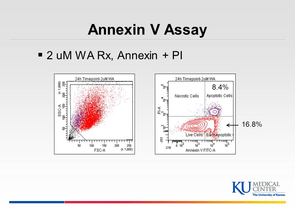 Annexin V Assay 2 uM WA Rx, Annexin + PI 8.4% 16.8%
