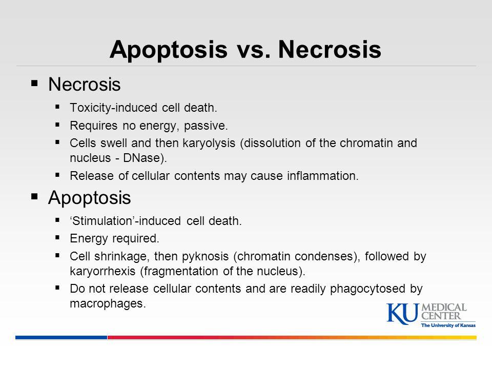 Apoptosis vs. Necrosis Necrosis Apoptosis Toxicity-induced cell death.