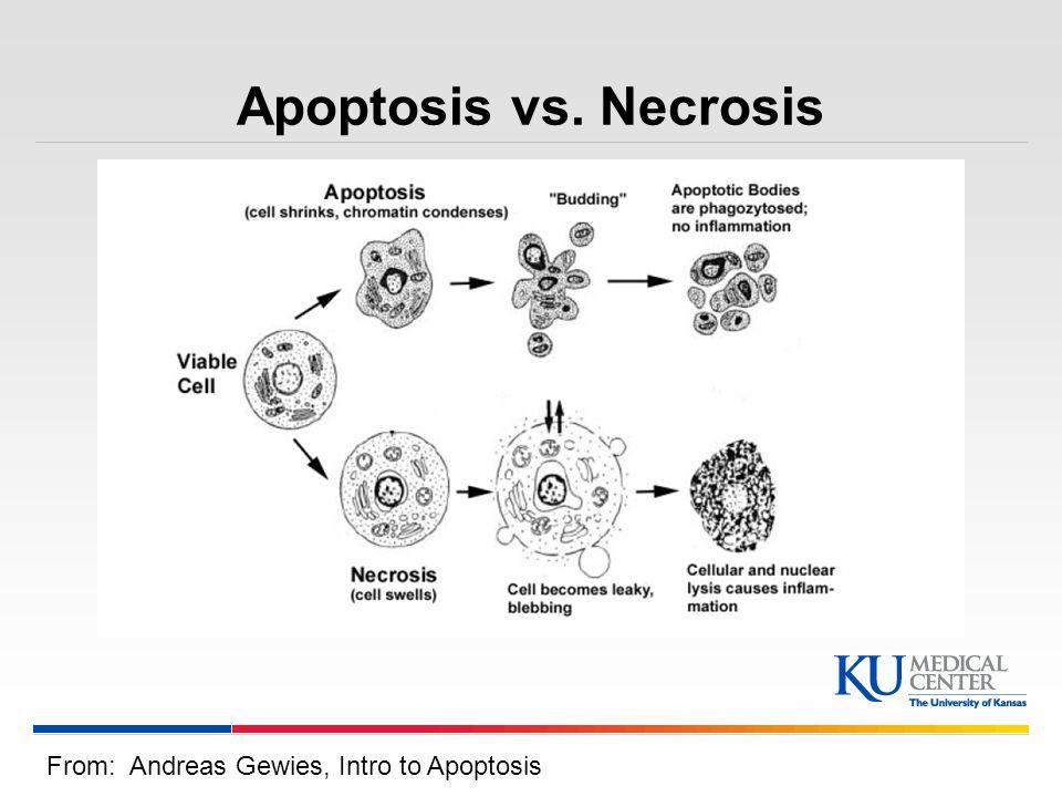 Apoptosis vs. Necrosis From: Andreas Gewies, Intro to Apoptosis