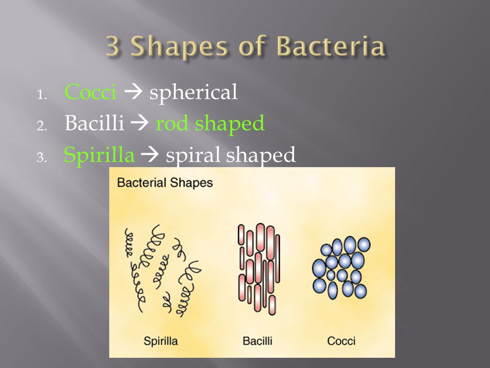 3 Shapes of Bacteria Cocci  spherical Bacilli  rod shaped