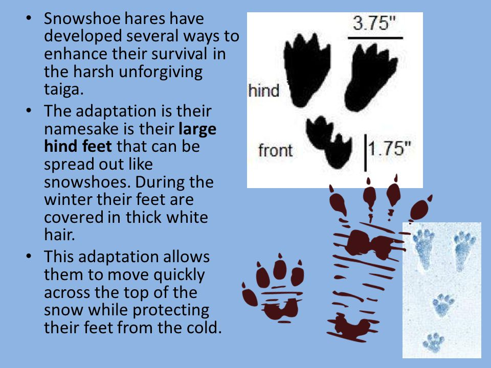 Snowshoe hares have developed several ways to enhance their survival in the harsh unforgiving taiga.