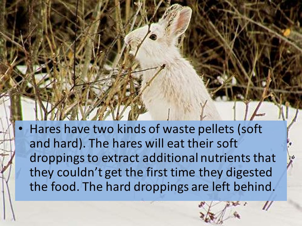 Hares have two kinds of waste pellets (soft and hard)