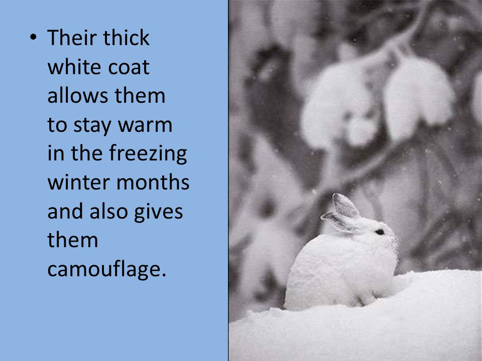Their thick white coat allows them to stay warm in the freezing winter months and also gives them camouflage.
