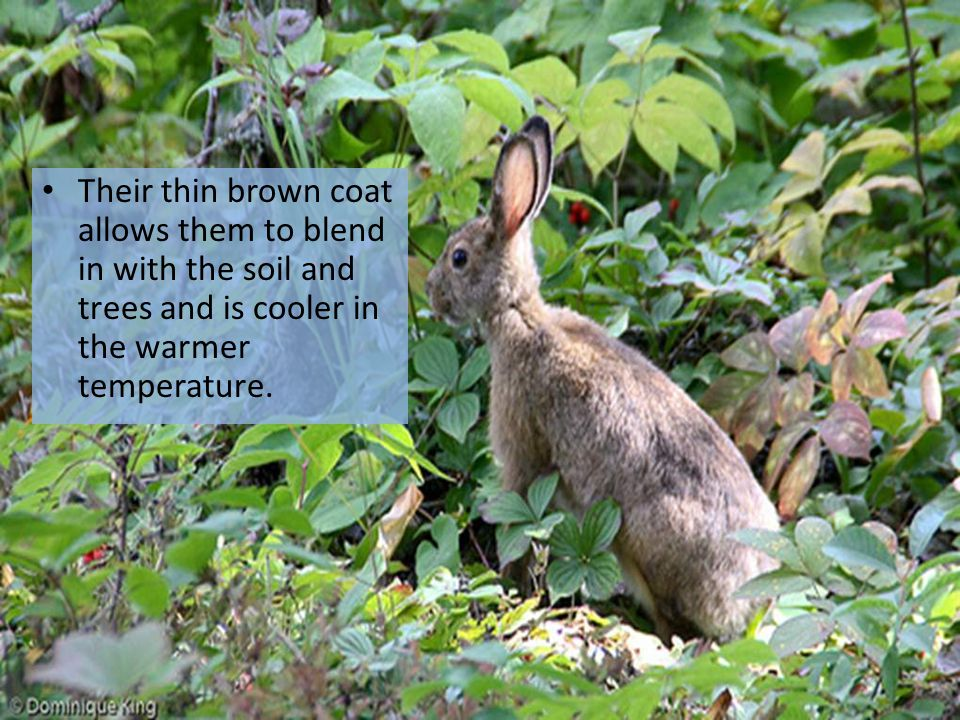 Their thin brown coat allows them to blend in with the soil and trees and is cooler in the warmer temperature.