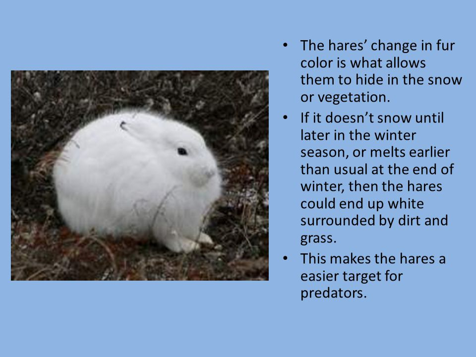 This makes the hares a easier target for predators.