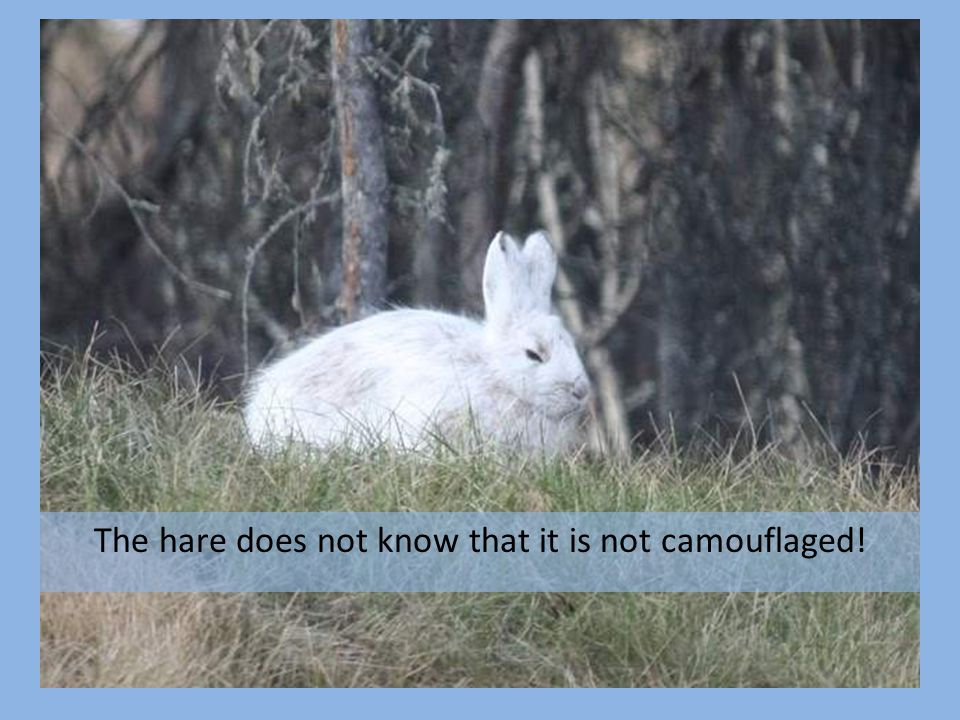 The hare does not know that it is not camouflaged!