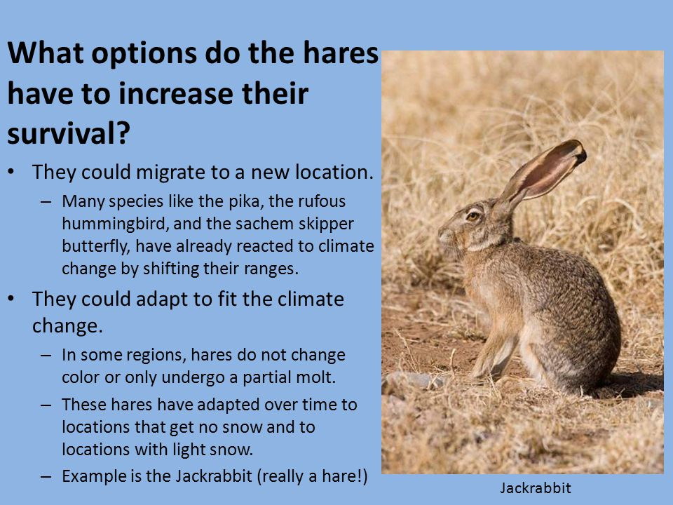 What options do the hares have to increase their survival