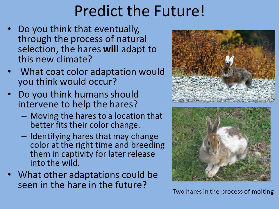Predict the Future! Do you think that eventually, through the process of natural selection, the hares will adapt to this new climate