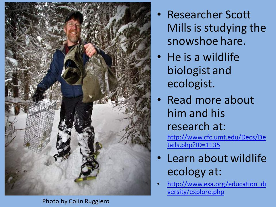 Researcher Scott Mills is studying the snowshoe hare.