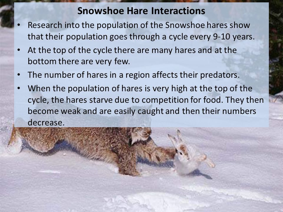 Snowshoe Hare Interactions