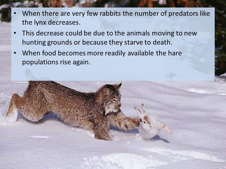 When there are very few rabbits the number of predators like the lynx decreases.