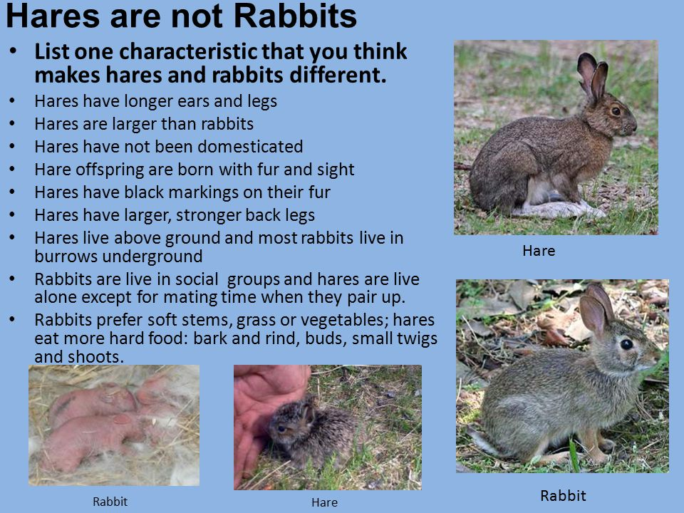 Hares are not Rabbits List one characteristic that you think makes hares and rabbits different. Hares have longer ears and legs.