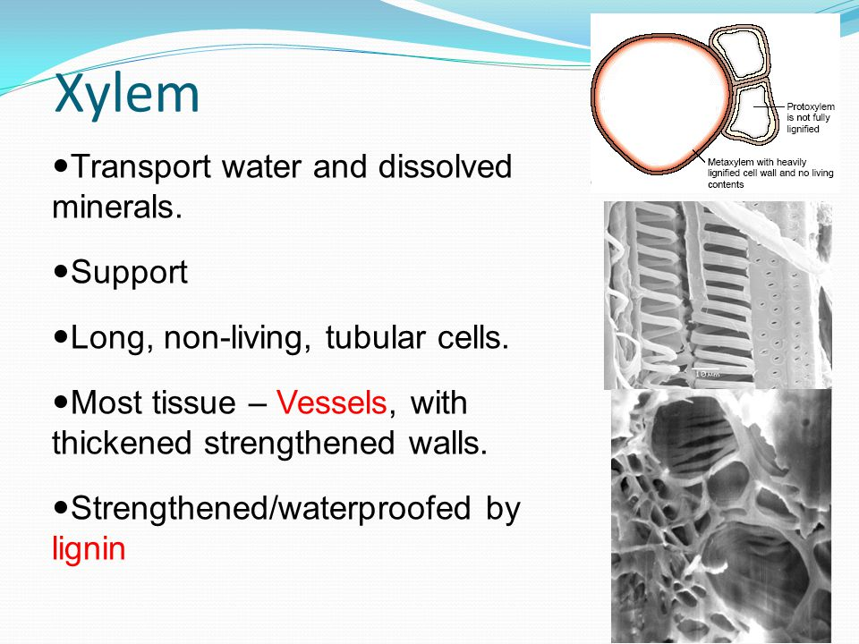 Xylem Transport water and dissolved minerals. Support