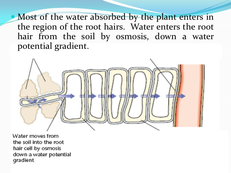 Most of the water absorbed by the plant enters in the region of the root hairs.