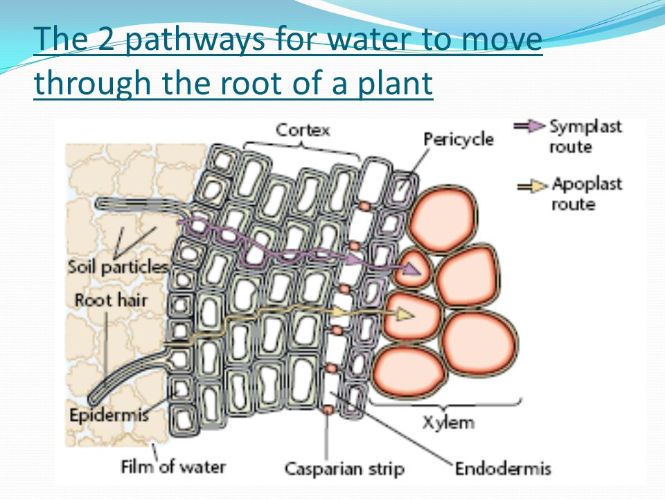 The 2 pathways for water to move through the root of a plant