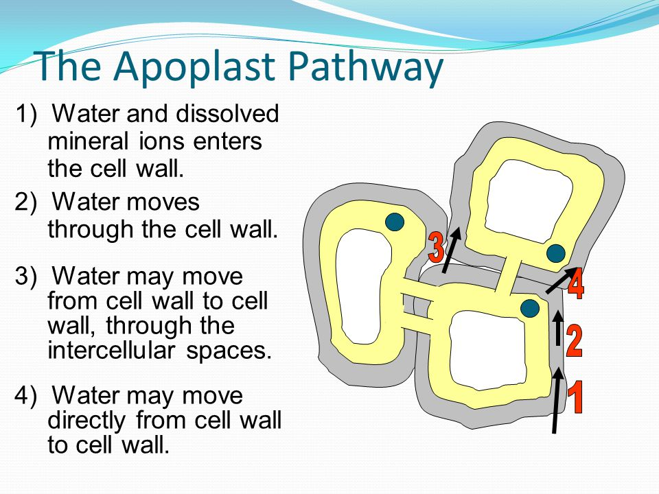 The Apoplast Pathway 1) Water and dissolved mineral ions enters the cell wall. 2) Water moves through the cell wall.