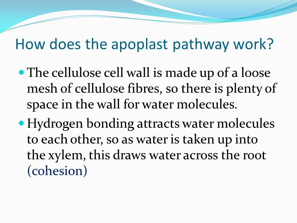 How does the apoplast pathway work