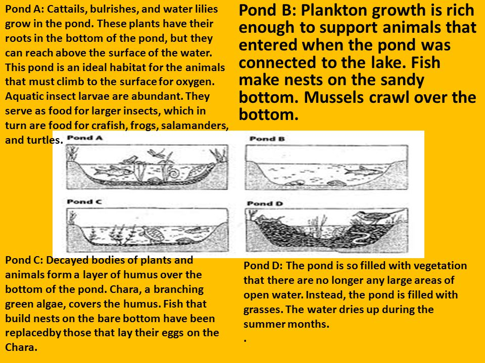 Pond B: Plankton growth is rich enough to support animals that entered when the pond was connected to the lake. Fish make nests on the sandy bottom. Mussels crawl over the bottom.