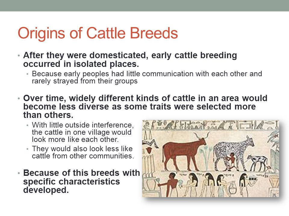Origins of Cattle Breeds