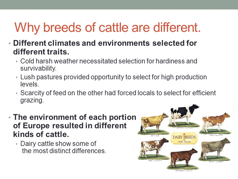 Why breeds of cattle are different.