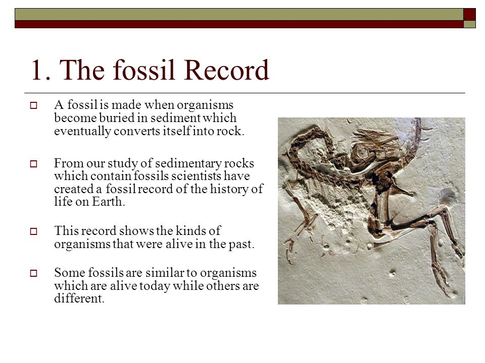 1. The fossil Record A fossil is made when organisms become buried in sediment which eventually converts itself into rock.